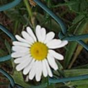 White Flower On The Fence Poster