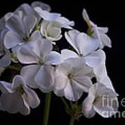 White Geranium Poster