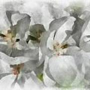 White Geraniums - Watercolor Poster