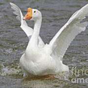 White Goose Poster