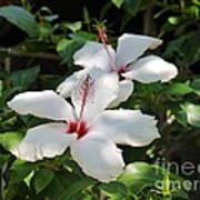 White Hibiscus Poster