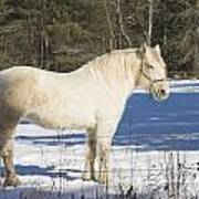 White Horse In Winter Maine Poster