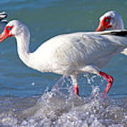 White Ibis On The Shore Poster