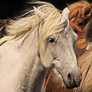 White Icelandic Horse Poster