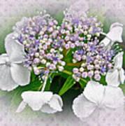 White Lace Cap Hydrangea Blossoms Poster