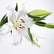 White Lily And Buds Poster