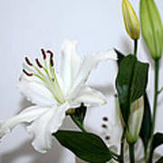 White Lily With Buds Poster