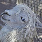 White Llama Poster