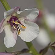 White Mullein - Verbascum Lychnitis Wildflower Poster