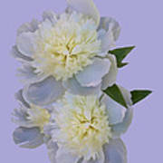 White Peonies On Lavender Poster