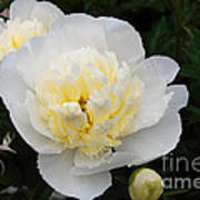 White Peony Flowers Series 1 Poster