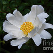 White Peony Flowers Series 4 Poster