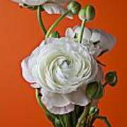 White Ranunculus Close Up In Red Vase Poster by Garry Gay