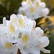 White Rhododendron Bloom Poster