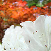 White Rhododendron Flowers Autumn Floral Prints Poster by Baslee Troutman