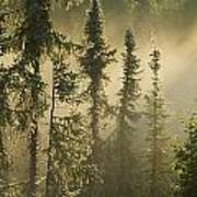 White Spruce In Mist At Sunrise Poster