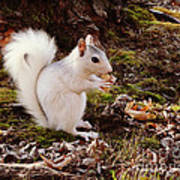 White Squirrel With Peanut Poster