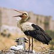 White Stork Ciconia Ciconia, Turkey Poster by Carson Ganci