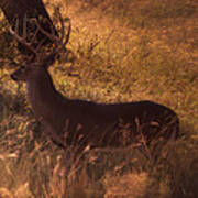 White Tail Buck Poster