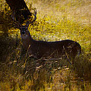 White Tail Poster by Kelly Rader