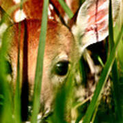 White Tailed Deer Fawn Hiding In Grass Poster