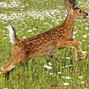 White Tailed Deer Fawn In Field Of Poster