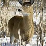 White-tailed Deer In A Snow-covered Poster