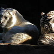 White Tiger And Lion Poster