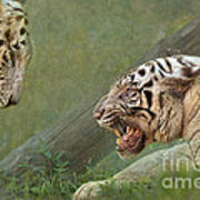 White Tiger Growling At Her Mate Poster