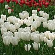 White Tulips 2 Poster