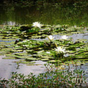 White Water Lily Pond Poster