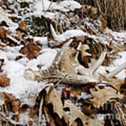 Whitetail Deer Antler  - Half Of 10 Poster