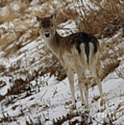 Whitetail Fawn In A Winter Meadow Poster
