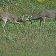 Whitetail Fighting_9668 Poster