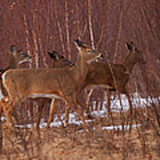 Whitetails On The Move Poster