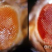 Wild & White-eosin Eyes In Drosophila Poster