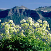 Wild Angelica Poster