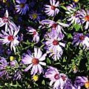 Wild Asters Poster