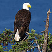 Wild Bald Eagle On Fir Tree Poster