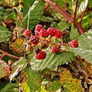Wild Berries Poster by Liz Vernand