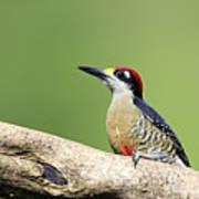 Wild Black-cheeked Woodpecker Poster