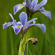 Wild Blue Flag Iris Poster