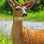 Wild Deer Poster