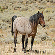 Wild Horses Wyoming - The Mare Poster