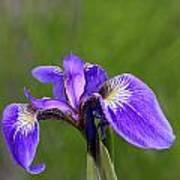 Wild Iris Poster