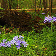 Wild Phlox In The Woodlands Poster