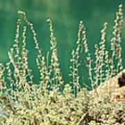 Wild Sage Poster