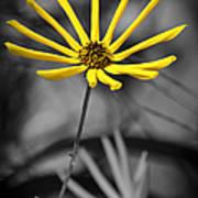 Wild Swamp Daisy Poster