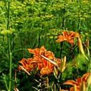 Wild Tiger Lilies 2 Poster