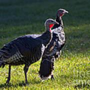 Wild Turkeys Poster by Mike  Dawson